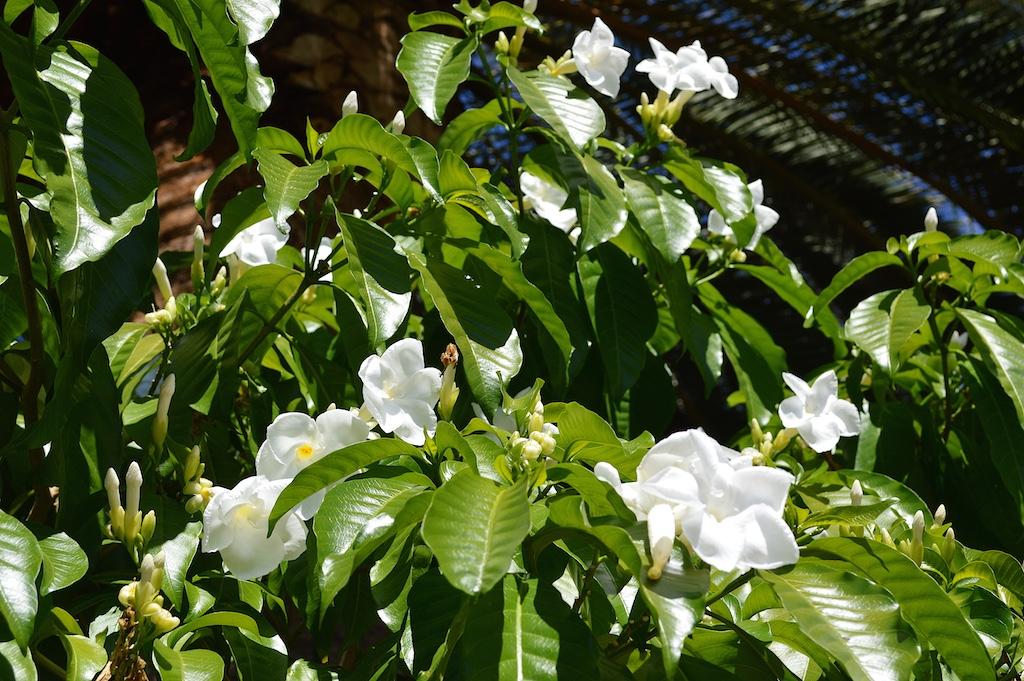 Stemmadenia littoralis Flowers