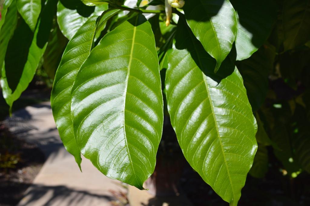 Stemmadenia littoralis Leaves