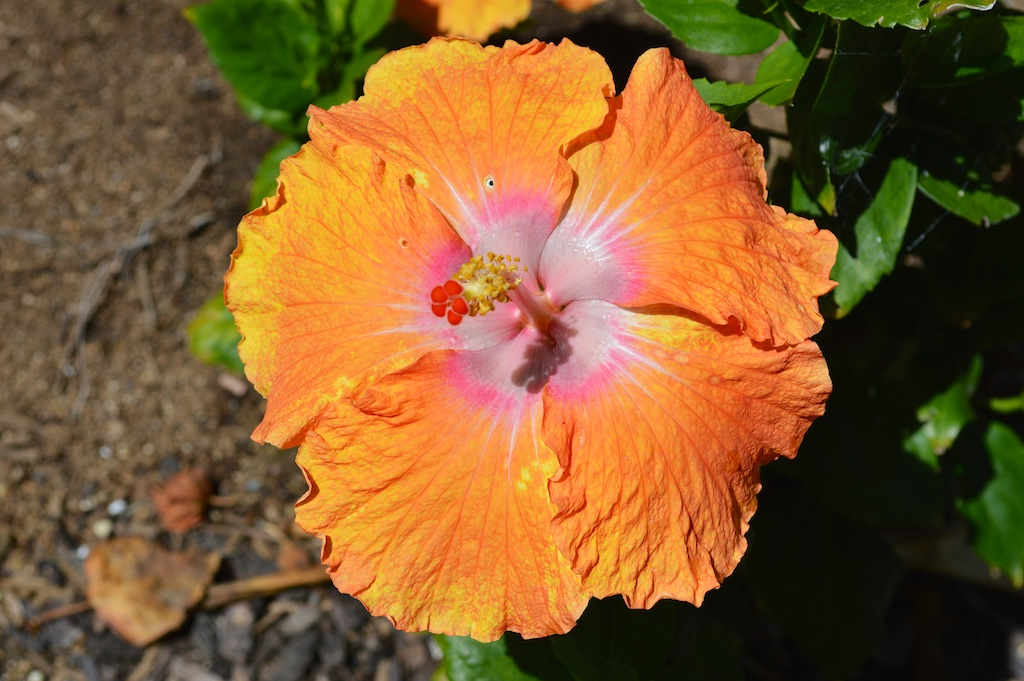 Tropical Hibiscus In Bloom In My Garden This Week
