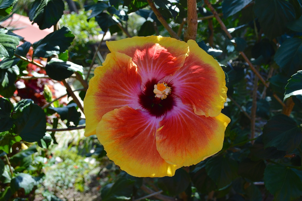 """Hibiscus """"Acapulco Gold"""""""