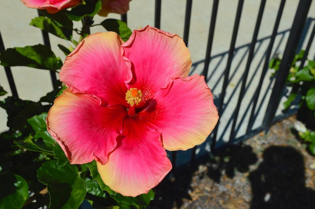 Hibiscus 'Flirtatious'