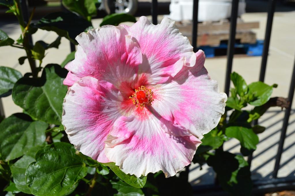 Hibiscus 'Magenta Double Star'
