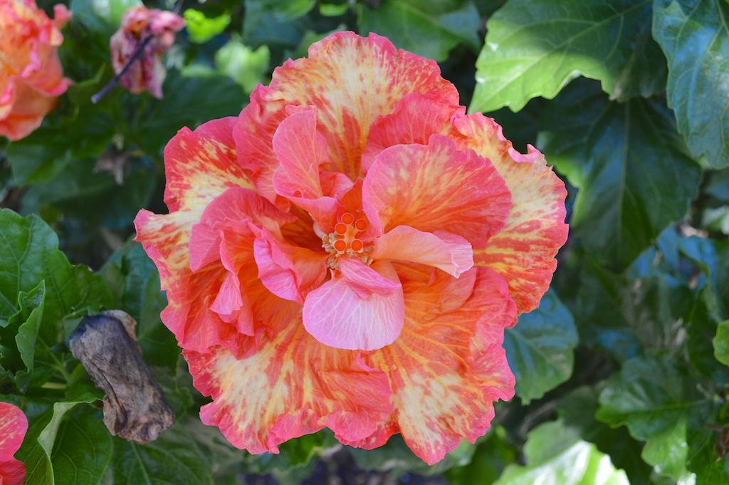 """Hibiscus """"Rosalind"""""""