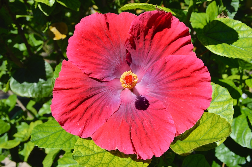 Hibiscus 'Ruby Tuesday'