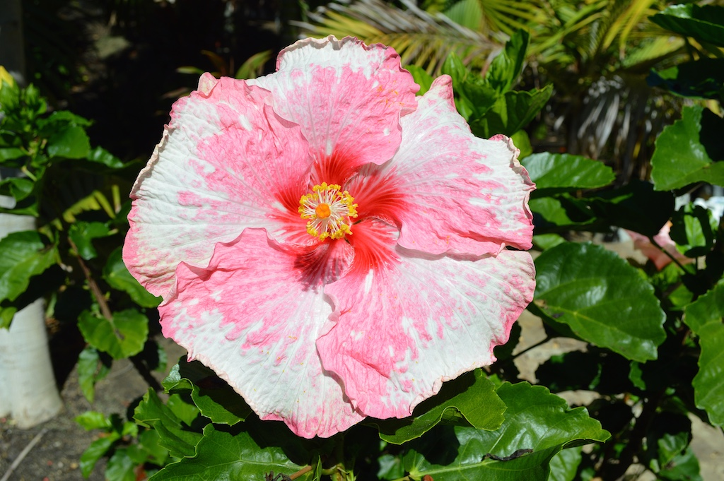 "Hibiscus ""Think Pink"""