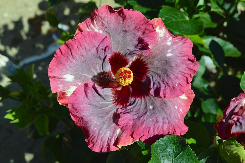 """Hibiscus """"Wild Grape"""""""
