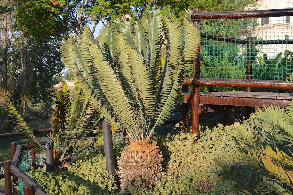 Montecasino Bird Gardens Encephalartos heenanii