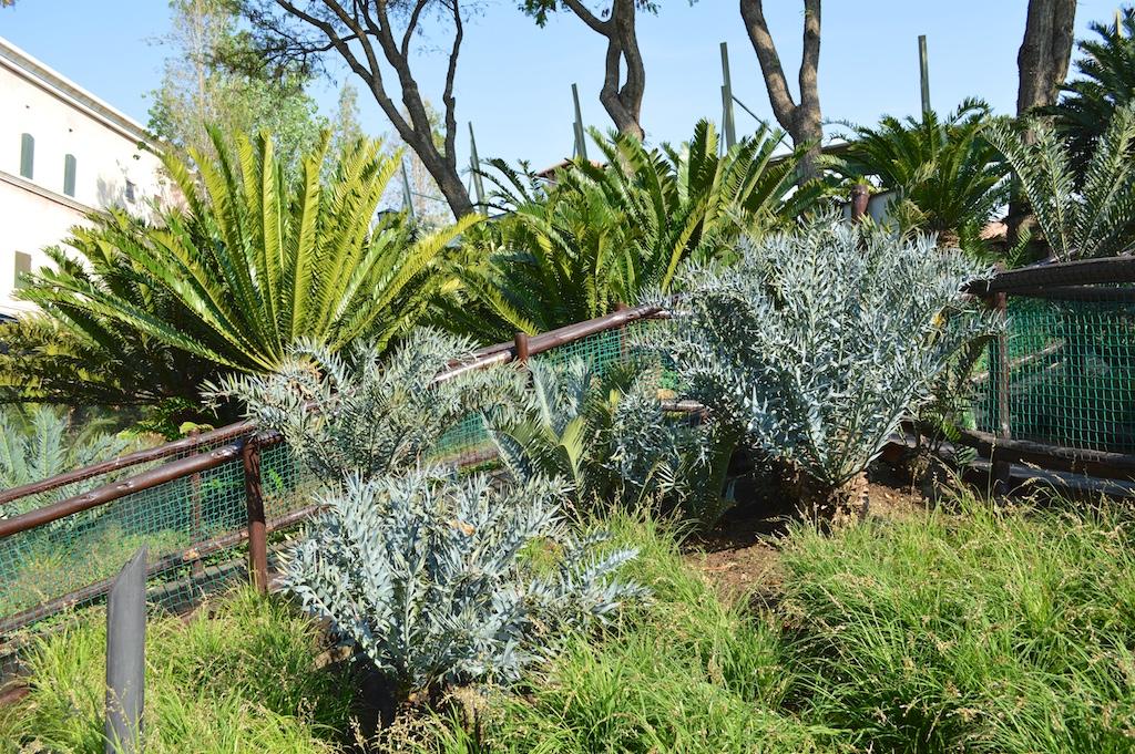 Montecasino Bird Gardens Encephalartos horridus Group