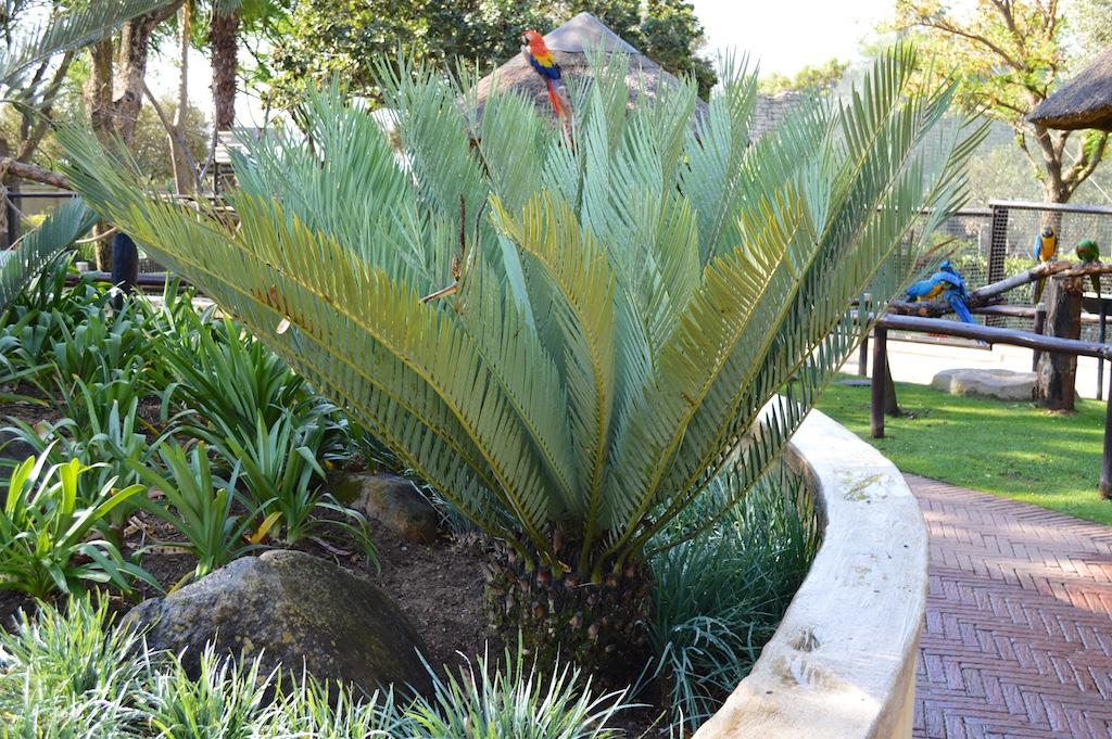 Montecasino Bird Gardens Encephalartos middelburgensis