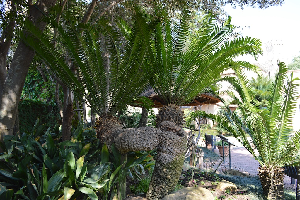Montecasino Bird Gardens Unknown Encephalartos