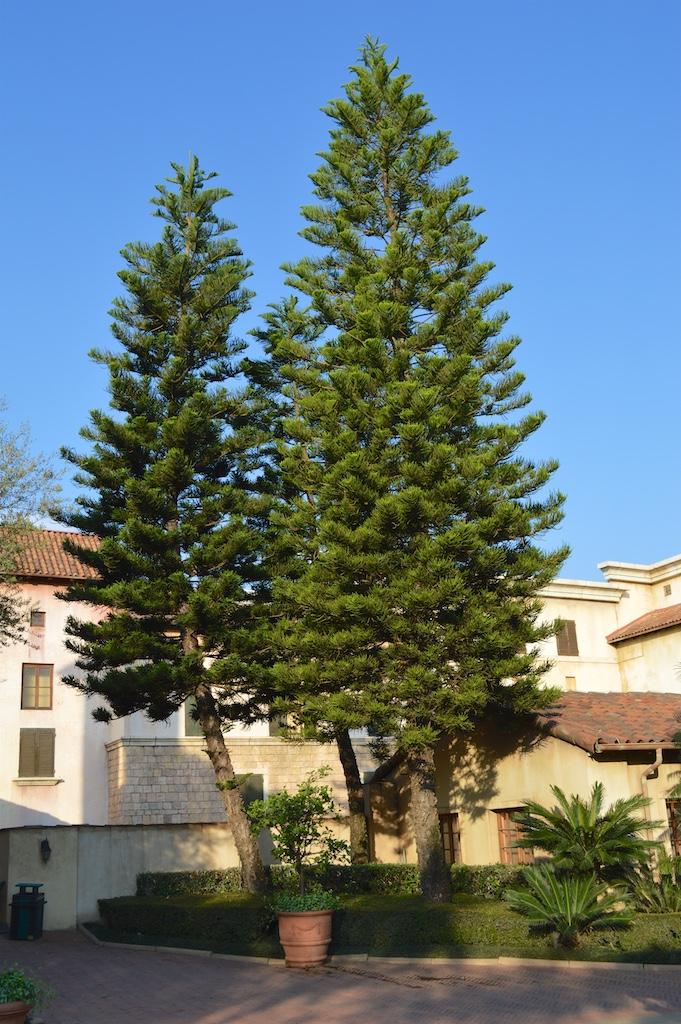 Montecasino Bird Gardens Norfolk Pine