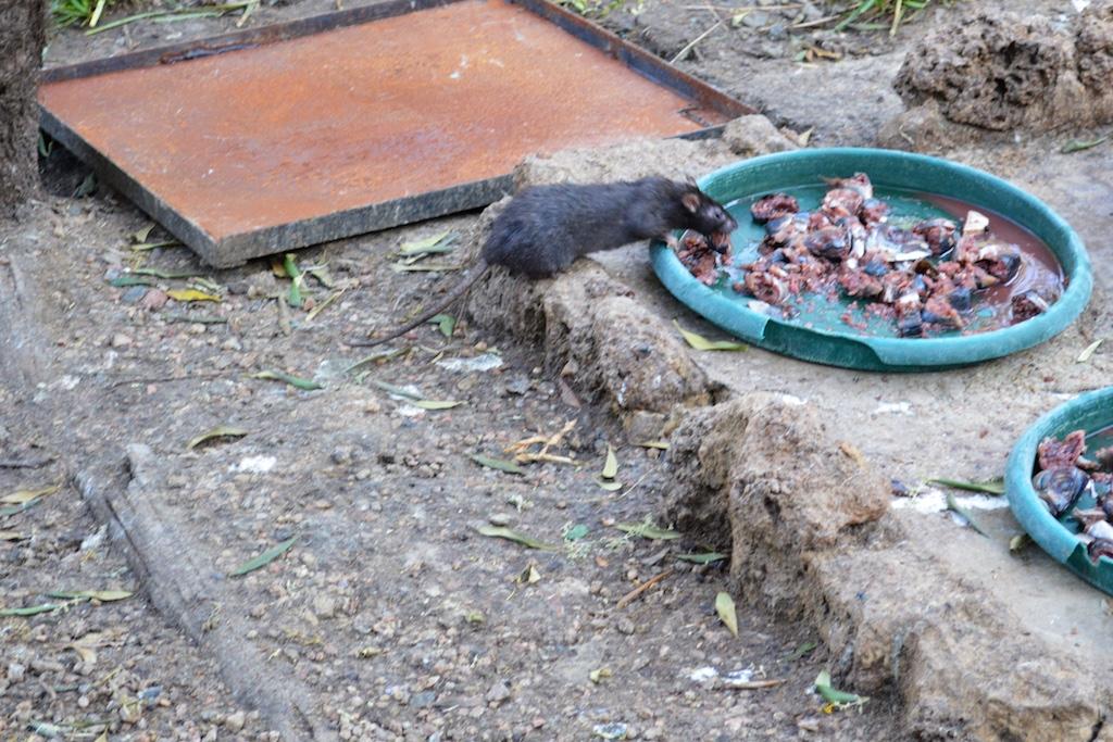 Montecasino Bird Gardens Rat