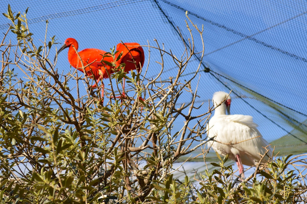 Scarlet Ibis and African Spoonbill