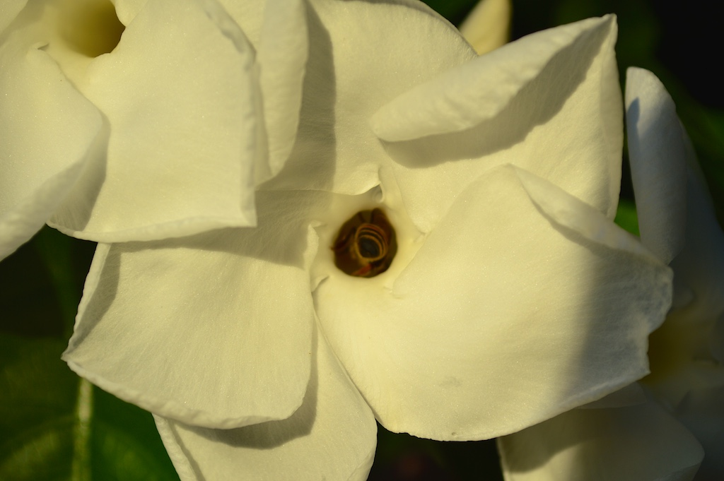 Stemmadenia littoralis Flower with Honey Bee