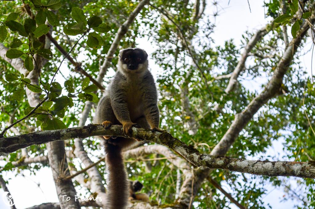 Common Brown Lemur (Eulemur fulvus) at Hotel Mikalo