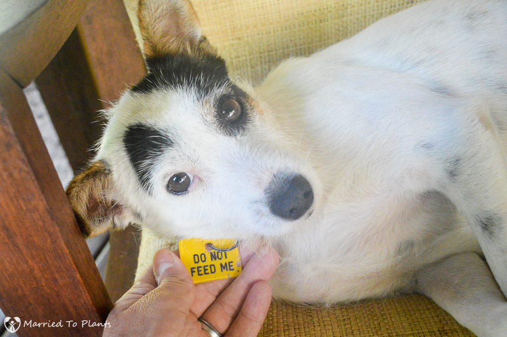 """Dog with """"Do Not Feed Me"""" Tag"""