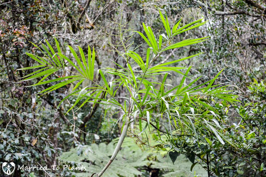 Dypsis aff. procumbens at Ranomafana
