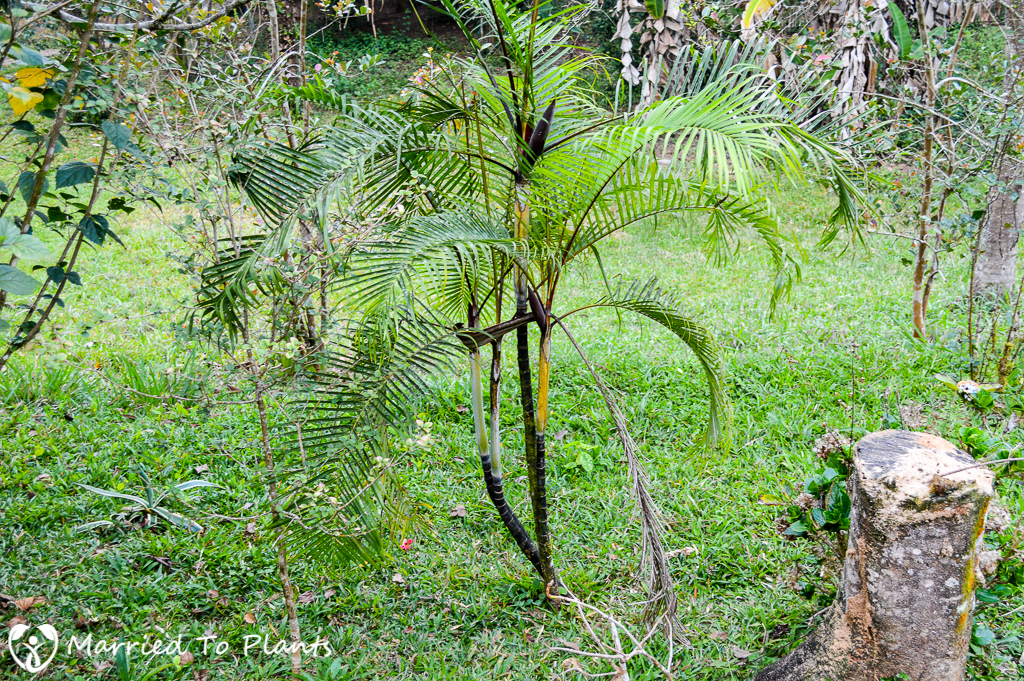 Dypsis 'Black Stem' at Hotel Mikalo