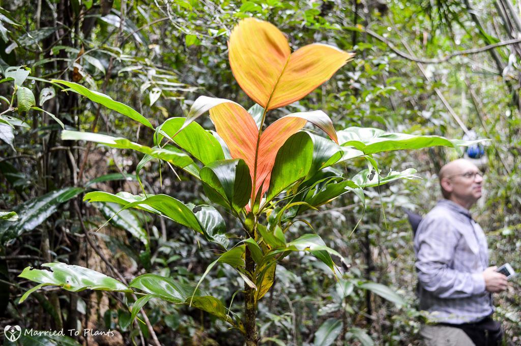 Dypsis forficifolia on Sainte Marie