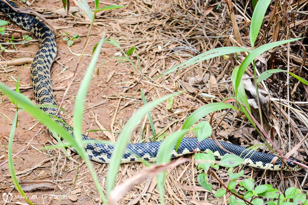Giant Hognose Snake