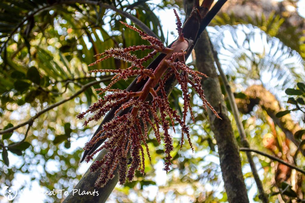Flowering Dypsis 'Black Stem' at Mantadia National Park