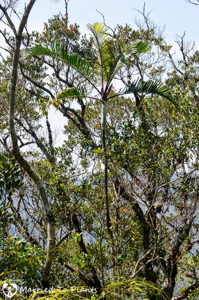 Dypsis 'Black Stem' at Mantadia National Park