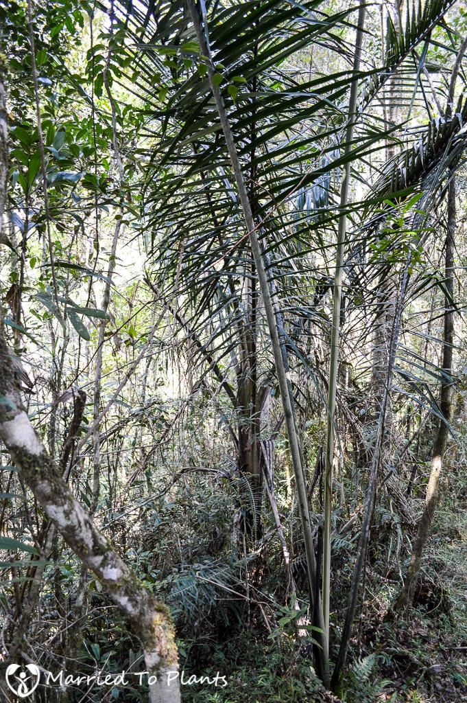 Dypsis pilulifera at Mantadia National Park