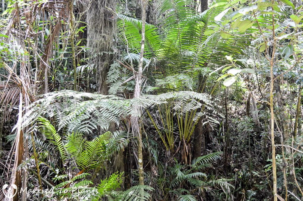 Dypsis utilis at Mantadia National Park