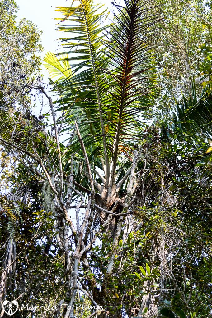 Ravenea madagascariensis at Mantadia National Park
