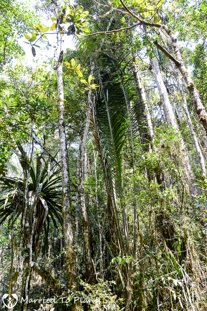 Ravenea robustior at Mantadia National Park