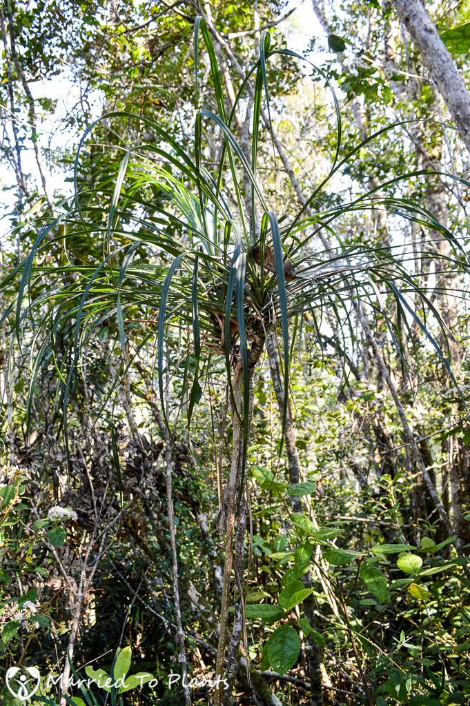 Unknown Pandanus at Mantadia National Park