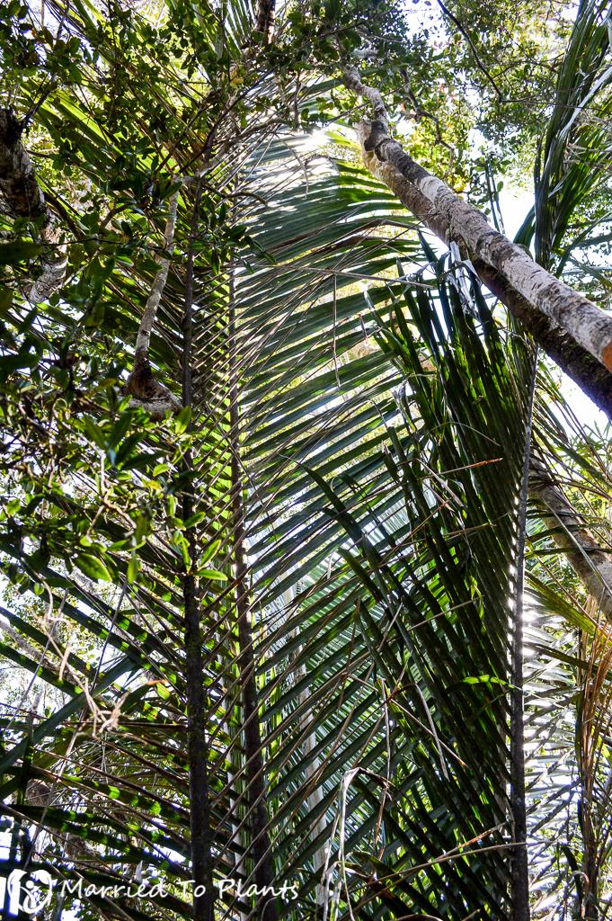 Maromizaha Reserve Beccariophoenix madagascariensis