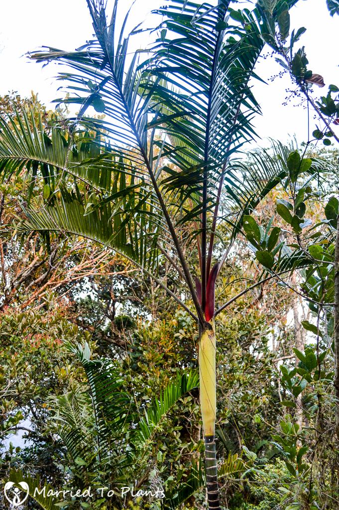 Maromizaha Reserve Dypsis 'Black Stem' Red Flower