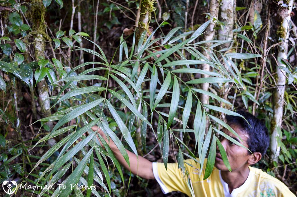 Maromizaha Reserve Dypsis jumelleana
