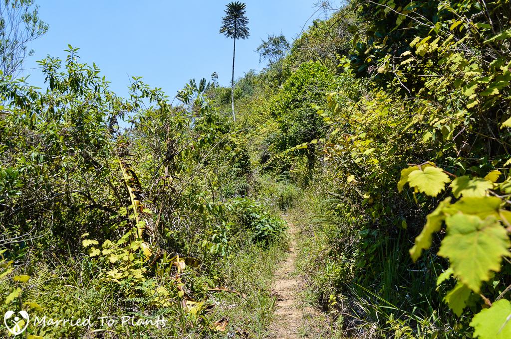 Maromizaha Reserve Invassive Plants on Trail
