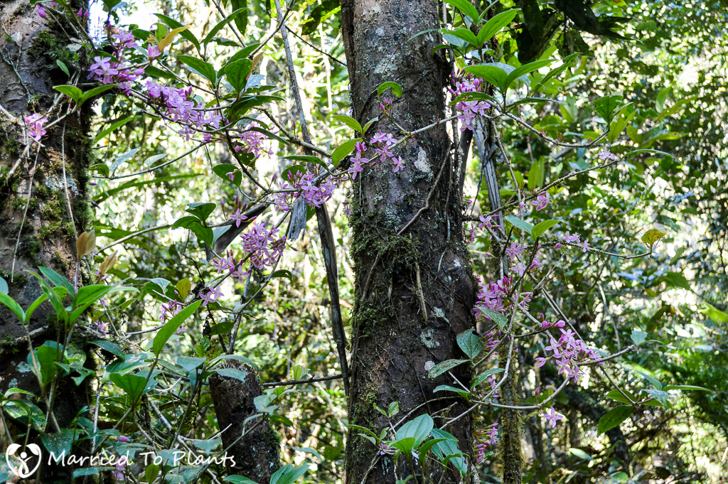 Maromizaha Reserve Medinilla sp. Flowering