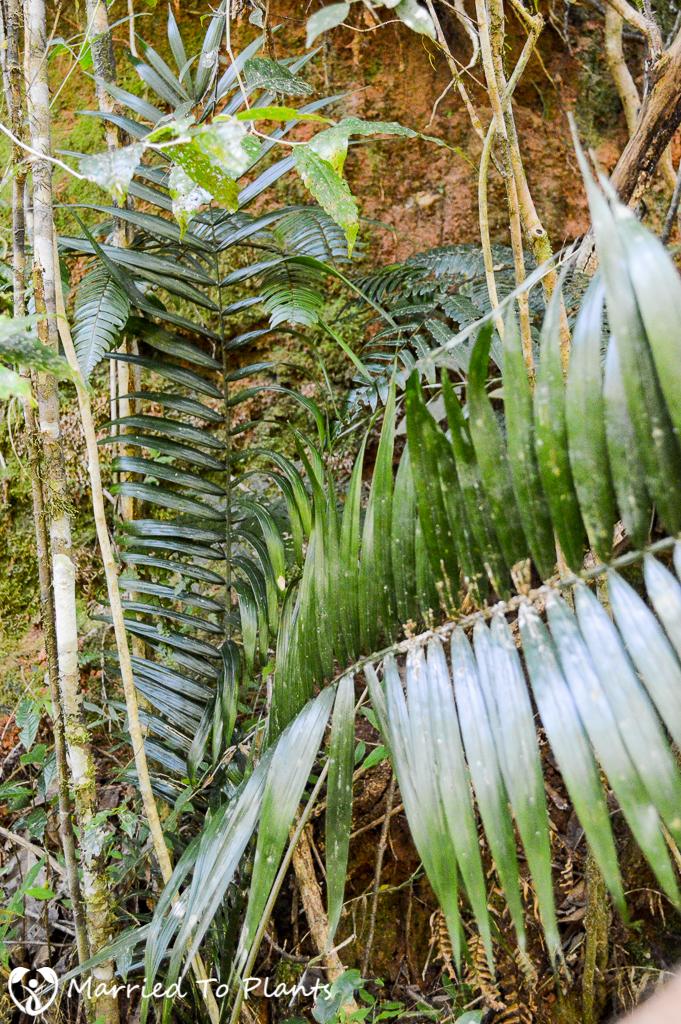 Maromizaha Reserve Unknown Metalic Leaf Dypsis
