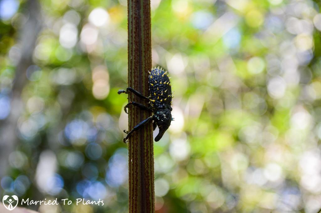 Maromizaha Reserve Weevil Beetle (Lixus Barbiger)