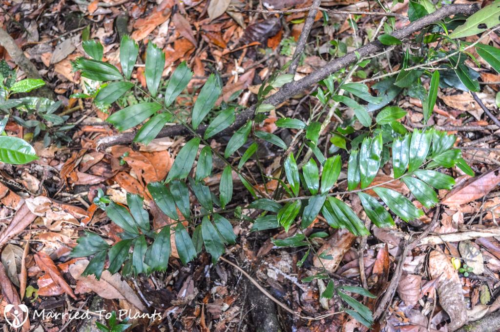Mount Vatovavy Dypsis trapezoidea