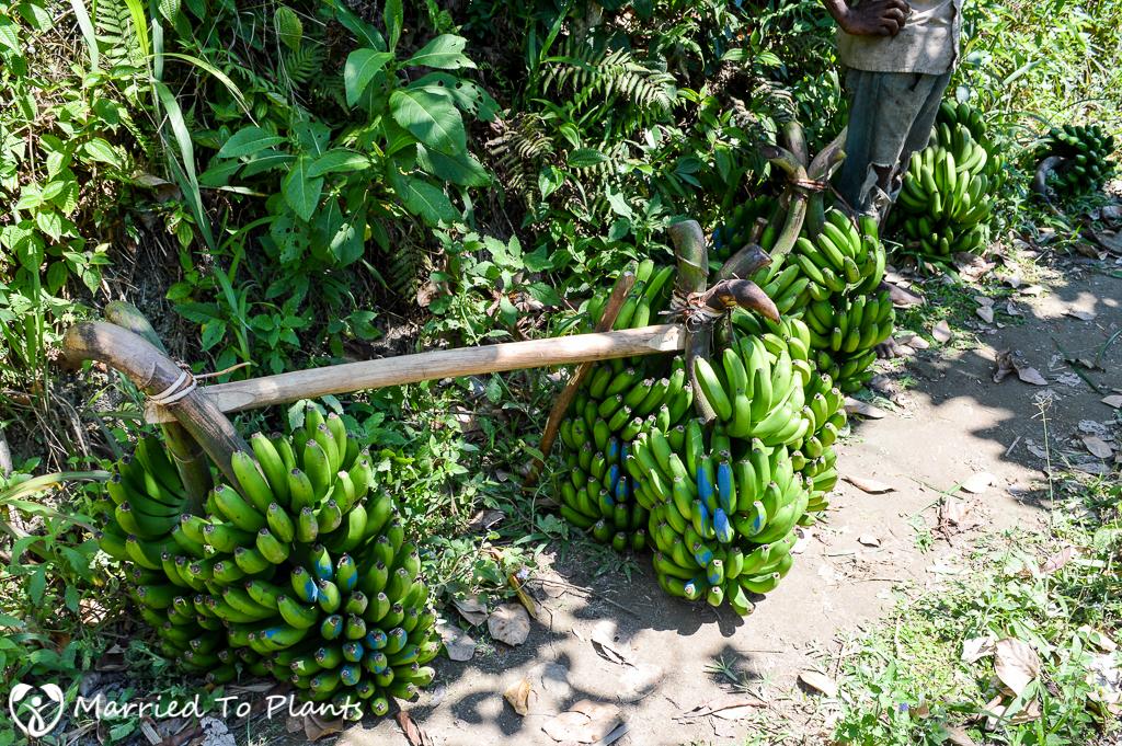 Bananas at Ranomafana