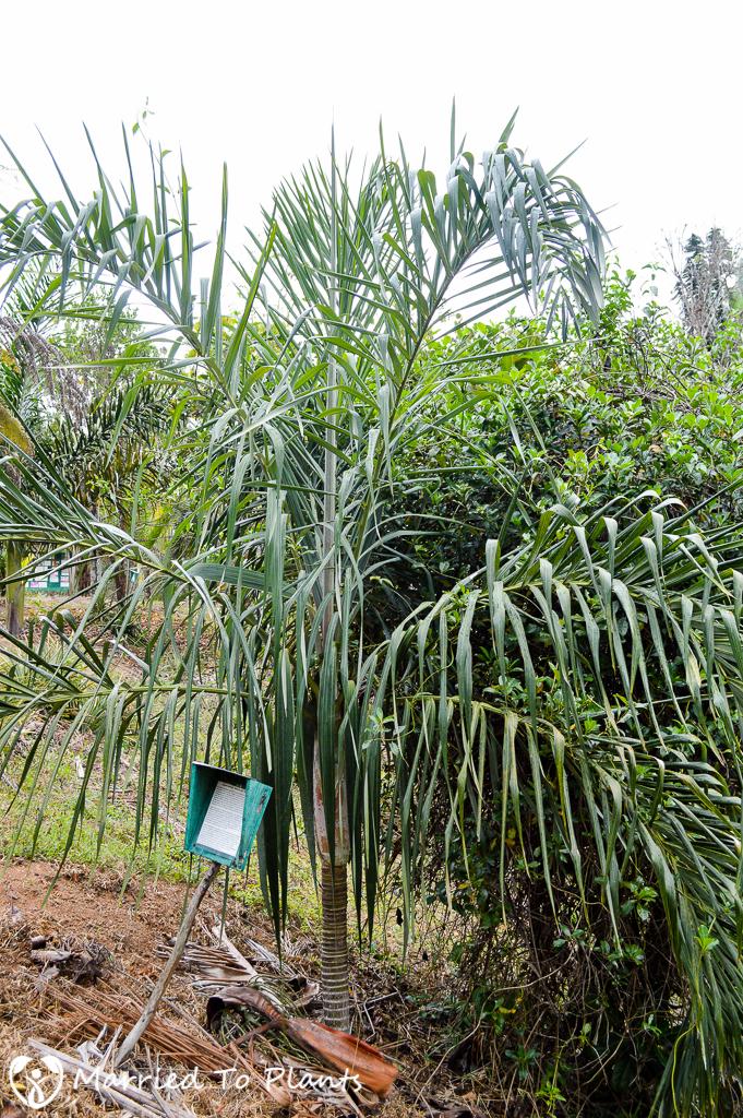 Dypsis basilonga at Ranomafana Arboretum