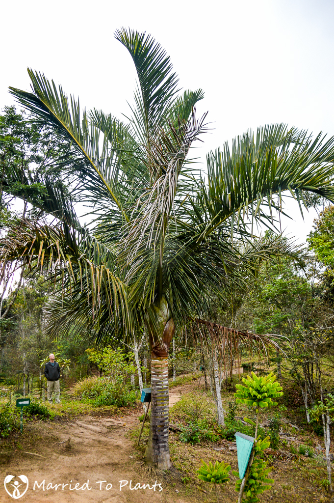 Dypsis robusta at Ranomafana Arboretum
