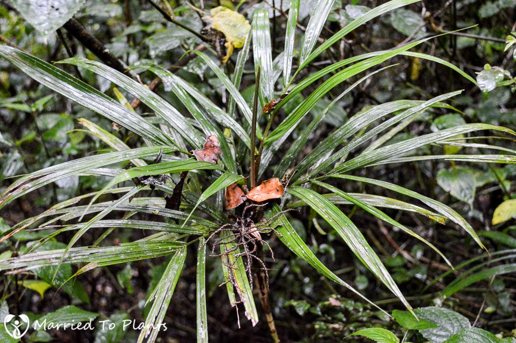 Dypsis thermarum at Ranomafana