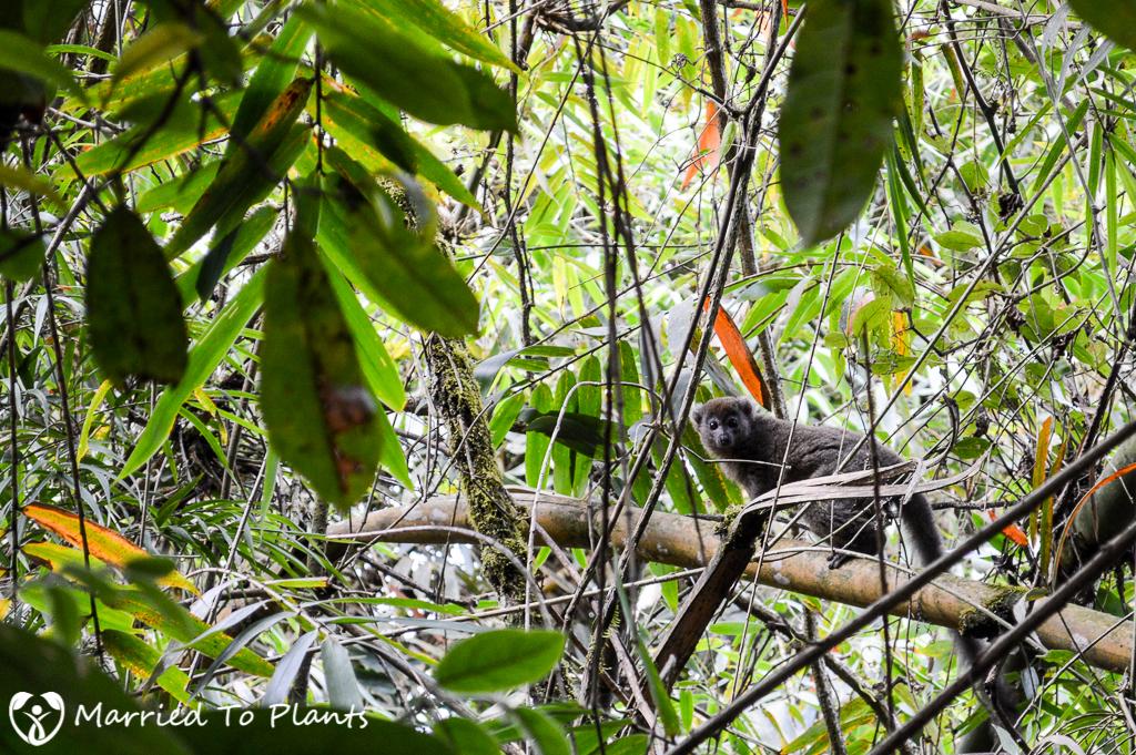 Eastern Lesser Bamboo Lemur at Ranomafana