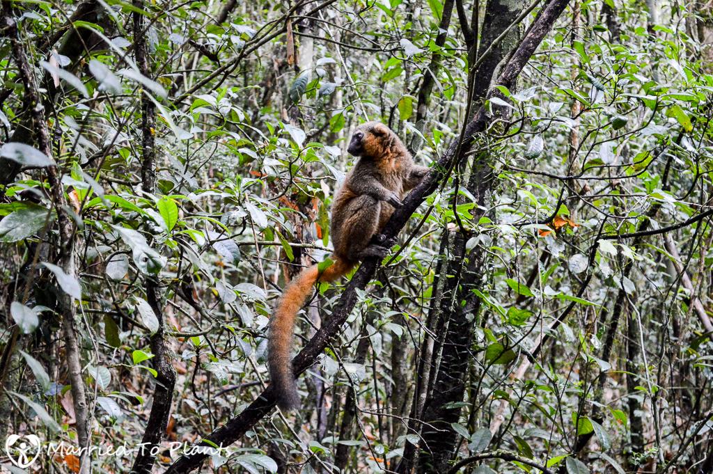 Golden Bamboo Lemur at Ranomafana