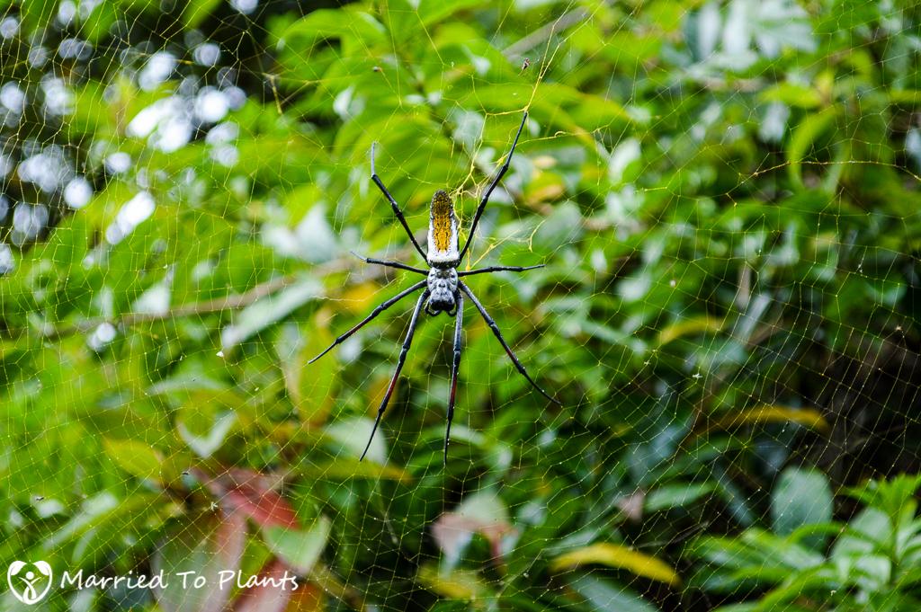Golden Silk Orb-Weaver Spider at Ranomafana