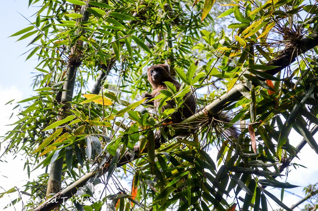 Greater Bamboo Lemur at Ranomafana