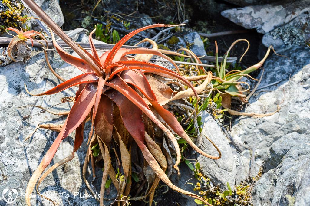 Aloe ibitiensis on Mount Ibity