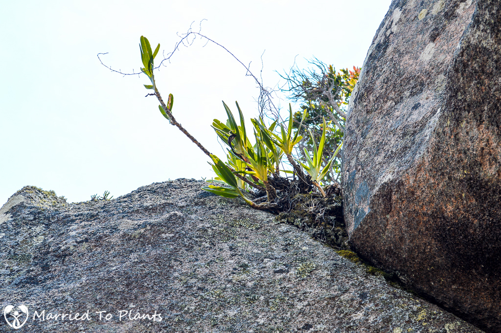 Mount Ibity Angraecum Sp.