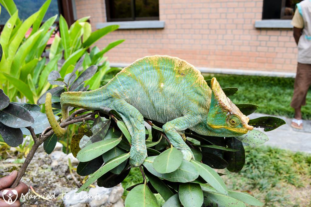 O'shaughnessy Chameleon at Ranomafana